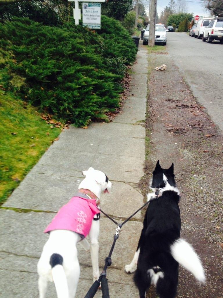 Dog walks with Daisy and Hollis